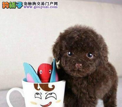 欢迎来深圳购买纯种泰迪犬外省朋友可采取空运或陆运