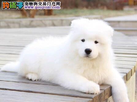 赛级萨摩耶幼犬 CKU认证绝对保障 提供养护指导