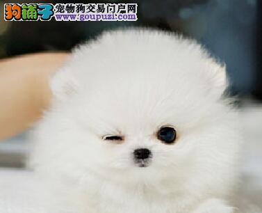 成都出售萌宠哈多利版球体博美犬幼犬血统纯健康签协议