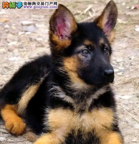 出售健康纯种德国牧羊犬/幼犬/弓背/黑背德牧