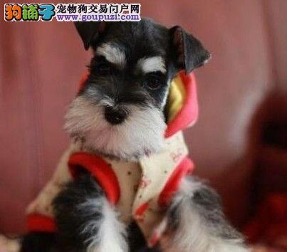 椒盐黑银色的广州雪纳瑞幼犬找新主人 签订活体协议