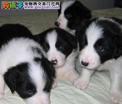 葫芦岛繁殖基地出售多种颜色的边境牧羊犬赠送全套宠物用品