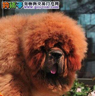 犬中霸主独占獒头重庆獒苑出售大狮头吊嘴长毛纯种藏獒