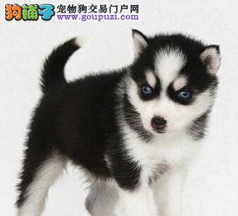 杭州犬舍出售赛级哈士奇幼犬 三把火双蓝眼值得选购
