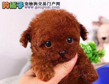 家养多只北京泰迪犬宝宝出售中下单有礼全国包邮