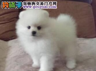 广州售纯种博美幼犬狐狸犬哈多利系博美松鼠犬可签协议