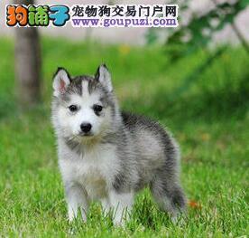 重庆出售高品质三把火哈士奇宝石蓝眼睛纯种健康签合同