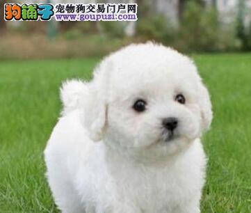 重庆纯种双血统比熊犬上门挑现场测健康包活3个月2