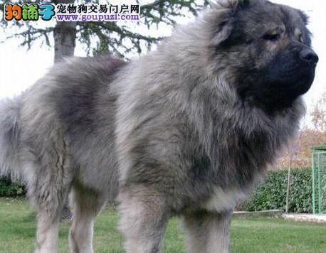 直销精品俄系高加索犬 南京周边地区可送全场包邮