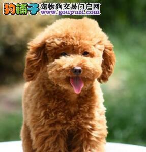 出售聪明善解人意的佛山贵宾犬 可上门选购看种犬
