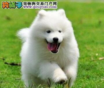 顶级优秀品质微笑天使萨摩耶济南狗场热销 可办理证书