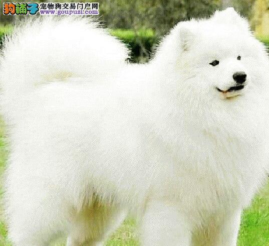 杭州出售微笑萨摩耶犬 保证 纯种健康终身质保饲养指导