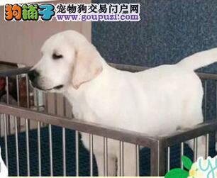 佳木斯特价出售拉布拉多犬 正规犬舍转让导盲犬保健康