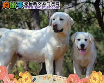 湘潭犬业出售拉布拉多犬可爱小七值得您托付终身的伙伴