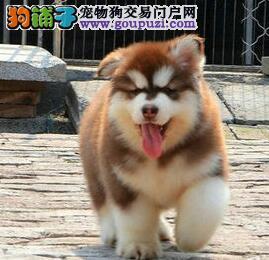 诚信卖狗 专业繁殖阿拉斯加犬 检查健康后再抱走签协议