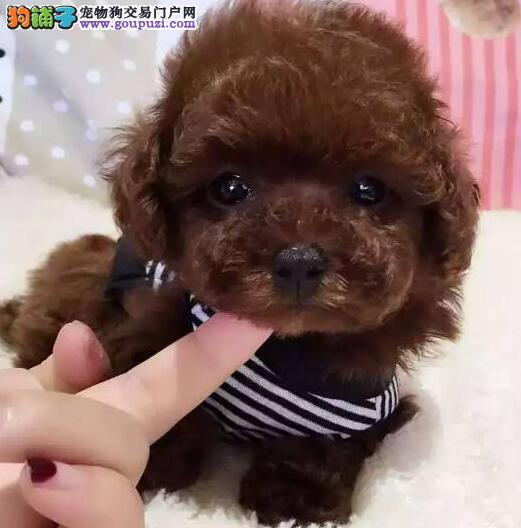 养殖场直销完美品相的泰迪犬微信看狗可见父母