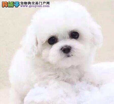 广州棉花糖般的比熊幼犬 纽扣眼毛量足小体比熊幼犬