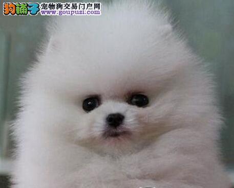球形博美犬出售 签订健康协议 全国包邮 三个月包退换