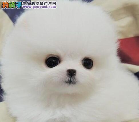 武汉繁殖基地出售多种颜色的博美犬期待您的光临