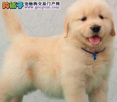 出售自家温顺忠诚稳重的兰州金毛犬 完美体型2