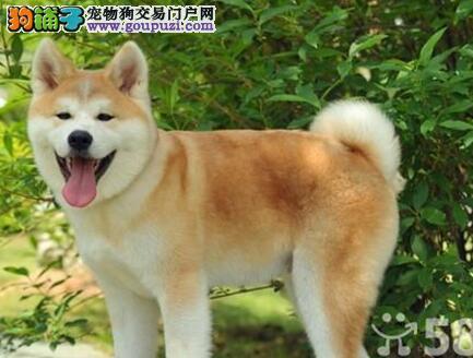 秋田犬性格上的优点和缺点分析