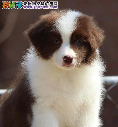 纯种边境牧羊犬幼犬应该具备的最基本的十大特征