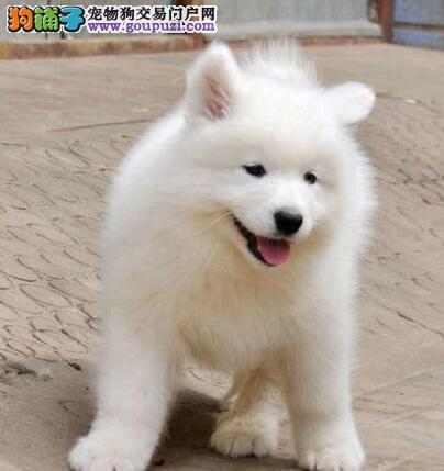 重庆萨摩耶犬舍出售顶级微笑天使澳版大毛量萨摩耶幼犬