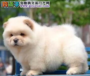 北京通州肉嘟嘟憨厚松狮犬出售 包健康纯种