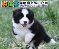 纯种赛级边境牧羊犬,CKU认证品质,签订正规合同