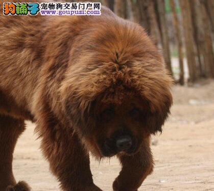 野性十足霸气冲天长毛狮头藏獒幼犬出售