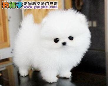 济南繁殖基地出售博美犬 可以与您签订活体销售协议
