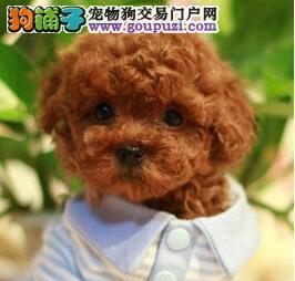 出售舟山贵宾犬专业缔造完美品质保证冠军级血统