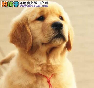 出售武汉纯种赛级金毛 保健康包养活签协议