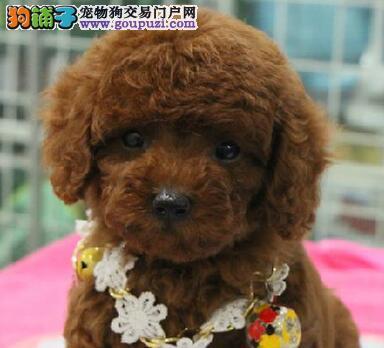深红色的巨型贵宾犬找爸爸妈妈 杭州的朋友上门选购犬