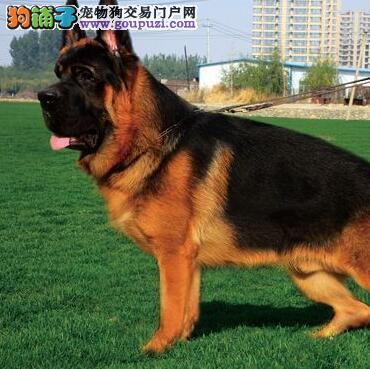 极品大头锤系贵阳德国牧羊犬幼犬出售价格低请选购4