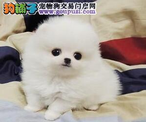 犬舍销售哈多利球体贵阳博美犬自家繁殖保证质量