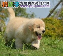 武汉买金毛选正规金毛犬繁殖基地品质信得过售后有保证