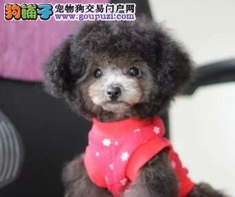 杭州售高品质纯血统泰迪熊高智商玩具泰迪健康保障