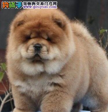 成都繁育精品赛级松狮犬价格美丽保健康签质保协议