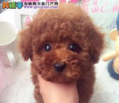 广州自家繁殖泰迪犬微信视频免费送货售前售后服务好