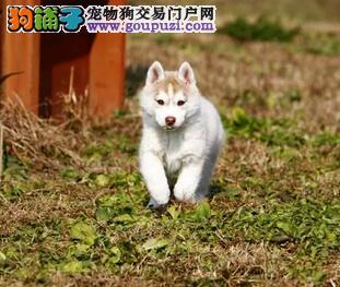 沈阳正规犬舍繁殖出售双血统的哈士奇幼犬 狗贩子勿扰