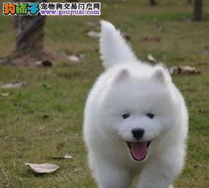 杭州繁殖出售萨摩耶犬 小萨幼犬三个月包退包换质保