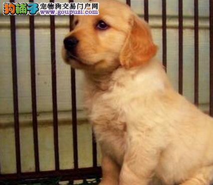 新乡市出售金毛犬幼犬 质量三包 协议质保 饲养指导