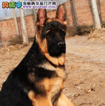 黑背弓腰骨骼健硕的贵阳德国牧羊犬找新家 欲购从速
