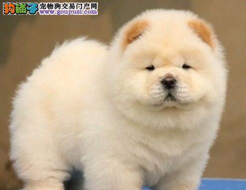 深圳出售纯种大头肉嘴松狮犬公母都有 血统好 保健康
