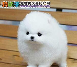 福州出售茶杯博美犬 纯白签订公司合同保证优质