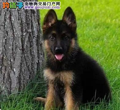 自家犬舍出售纯种德国牧羊犬 有意者可来深圳犬舍挑选