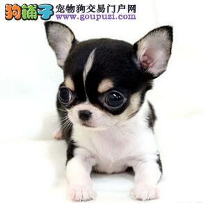 热销多只优秀的纯种吉娃娃幼犬国际血统证书