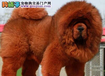 纯种狮王血系北京藏獒直销 颜色多样品相好欢迎挑选