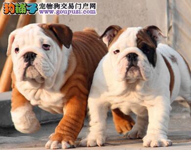 终身质保质量三包可签协议北京带血统出售英国斗牛犬